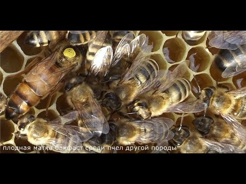 ошибки пчеловода , которые могут привести к гибели пчелосемей - август на пасеке