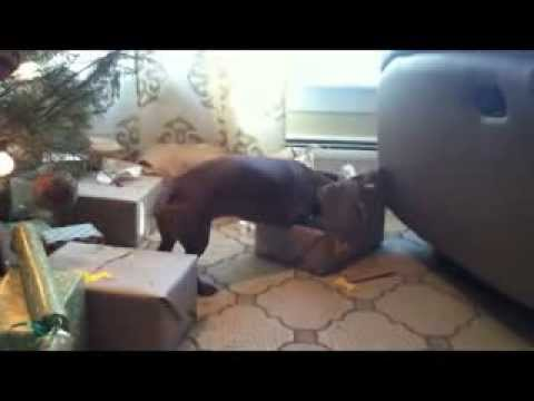 Ammo the Dachshund opens his Christmas presents 2011