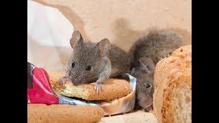 Как избавиться от мышей 100% способ.