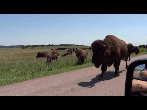 Close Encounter with Buffalo - Custer State Park, South Dakota 1 of 2