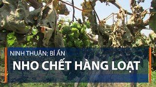 Ninh Thuận: Bí ẩn nho chết hàng loạt | VTC1