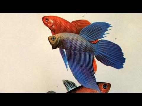 Петушок или бойцовая рыбка ( Betta splendens) - Аквариумные тропические рыбы № 3
