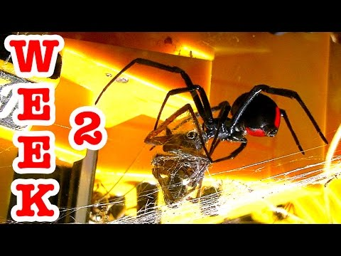 Redback Vs Wolf Spider Graphic Video Of Evil Deadly Spiders