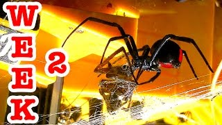 Repeat youtube video Redback Vs Wolf Spider Graphic Video Of Evil Deadly Spiders