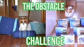 My Dog Does the Obstacle Challenge // Percy the Papillon Dog