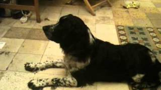 Pixel The English Springer Spaniel Dog, Barks On A Fireplace