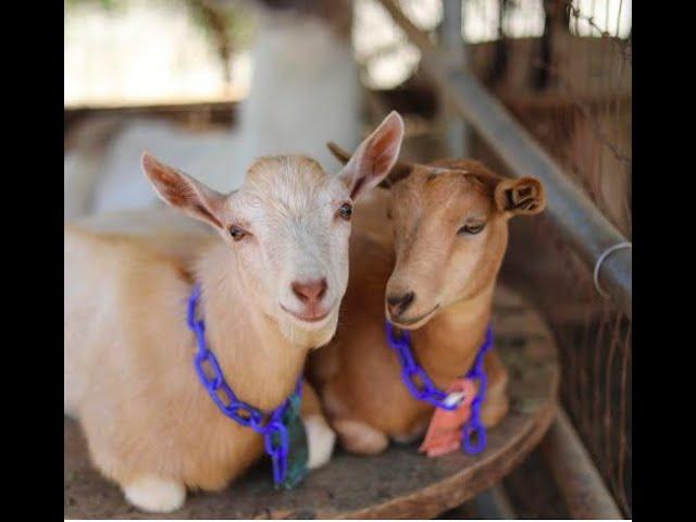 Goat Yoga Shenanigans