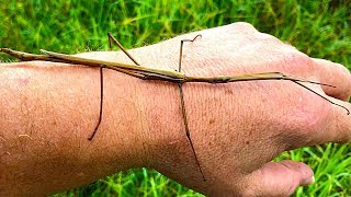 Stick Insect Saved & The Missing Tree