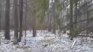 Притравка  щенка Восточно-сибирской Лайки по кабану