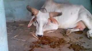Very Healthy Desi Indian Cow at Cattle Farm maintained by Ramkrushna Trust-Kukma