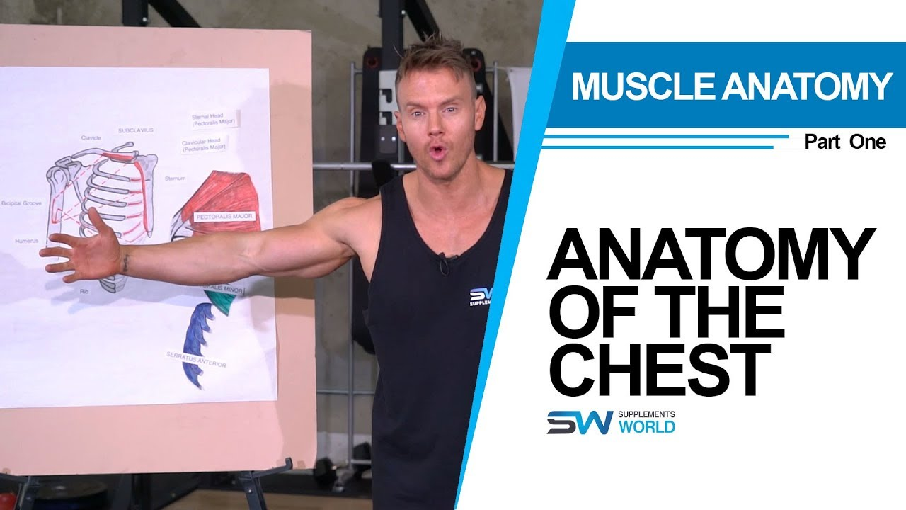 Muscle Anatomy - Chest Part One - YouTube