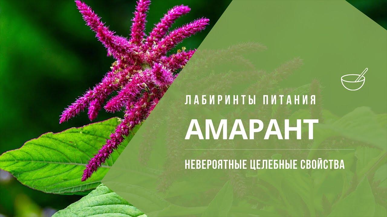 Амарант | невероятные целебные свойства - Лабиринты Питания