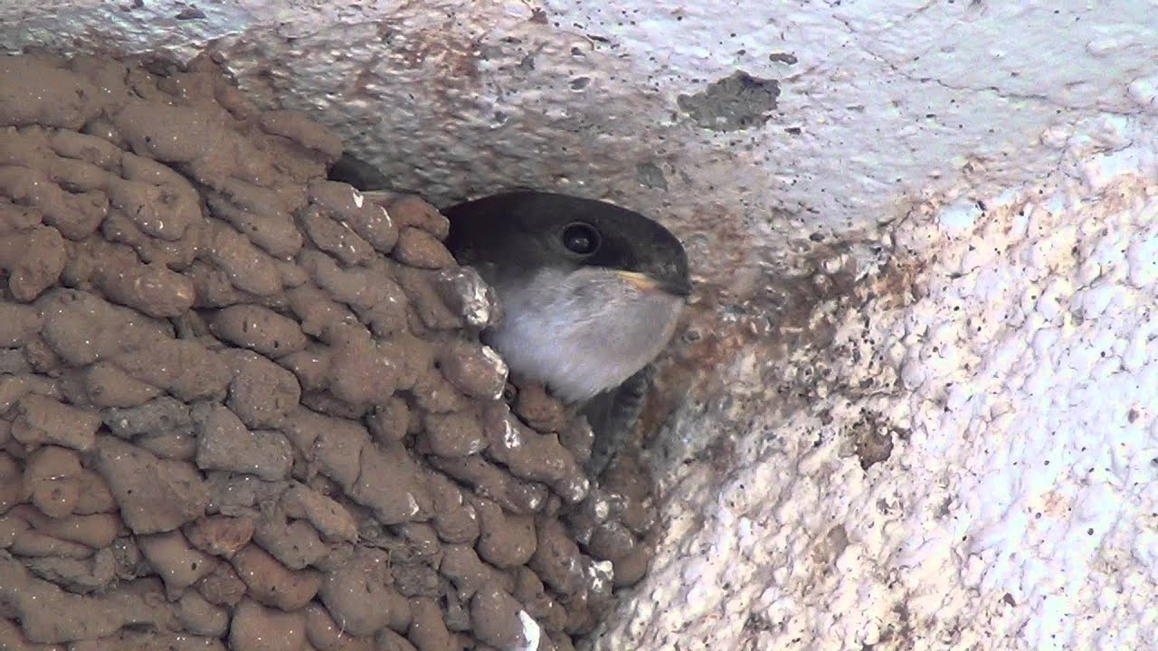 Swallow Mud Nest Youtube
