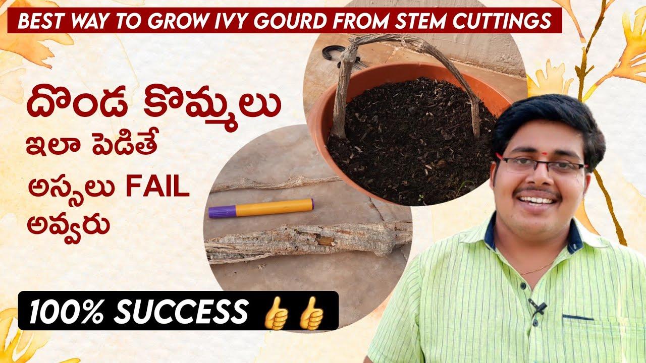 దొండ కొమ్మ పెట్టే సరైన పద్ధతులు , మీరు చేయకూడని పనులు || grow ivy gourd from stem cuttings easily