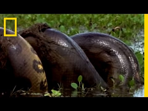 Anaconda vs. Mammal