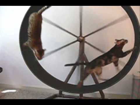 Dog Sized Hamster Wheel Cat-sized Hamster Wheel