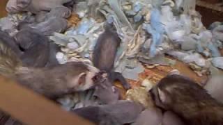 4 week old ferret kits feeding