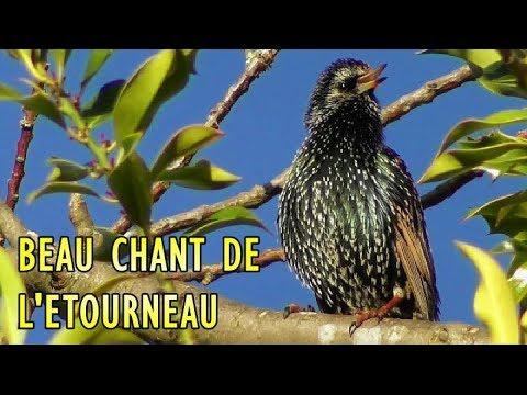 chant de l'Etourneau Sansonnet - Chant d'oiseau