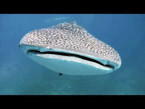 Whale Shark, Requin Baleine, requin, baleine, shark, Philippines, Voyage, Plongée sous marine, Dive, Diving, Underwater, Scuba Diving, Cebu, Visayas, Sumilon, GoPro HD, GoPro