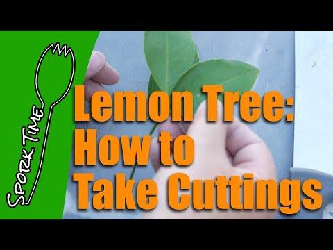 Lemon Tree: How