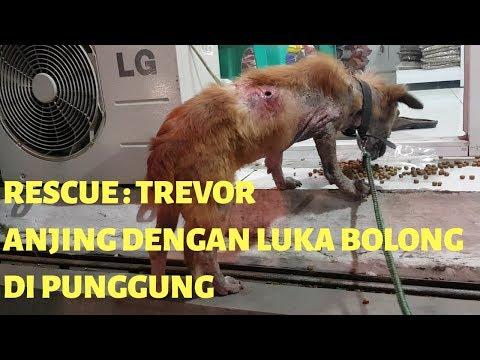 Rescue : Trevor, anjing demodex dengan luka bolong di punggung