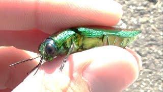 高級虫捕り網を振り回したら宝石みたいな昆虫が捕れた。japanese jewel beetle Chrysochroa fulgidissima