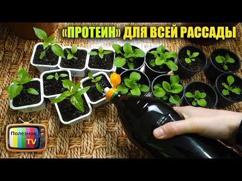 ДАЖЕ САМАЯ ХИЛАЯ РАССАДА ПОСЛЕ ЭТОЙ ПОДКОРМКИ ПОЙДЕТ В РОСТ И СТАНЕТ КРЕПКОЙ | выращивание | урожайный | подкормка | пересадка | выращиван | полезное | рассада | высадка | огород | перец