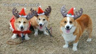 Mommies Of Puppies / 子犬達のママ達 20121219 Goro@welsh Corgi