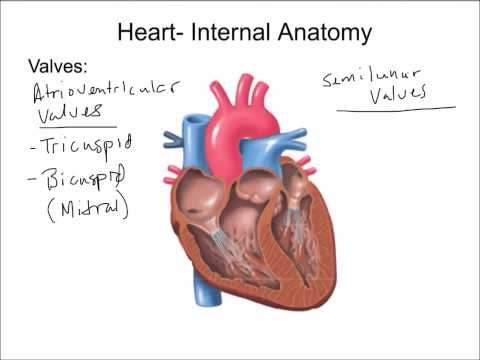 Cardiovascular System  Introduction, Heart, and Blood Vessels  Final