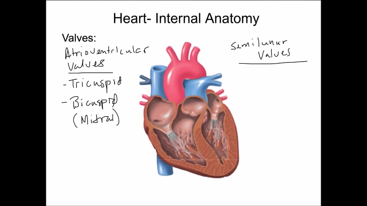 Cardiovascular System Introduction Heart And Blood Vessels Final