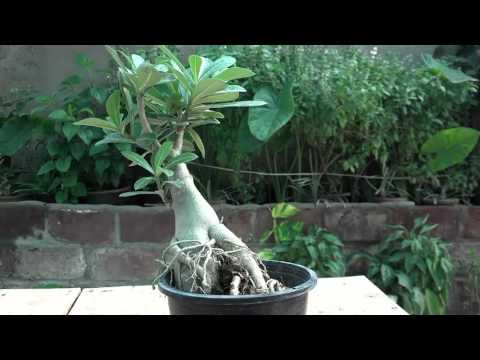 How to Grow Adenium Plant | How to Care for a Desert Rose | Desert Rose Plant Information Urdu/hindi