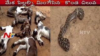Horrific Moment | Python Swallows Goats | Vizianagaram Agency Region