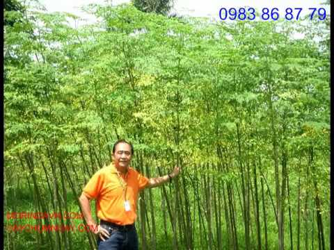 Malunggay Tree Farm