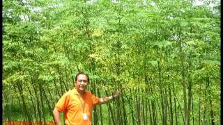 Malunggay Tree Farm