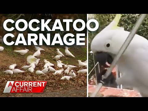 Cockatoos-destroy-homes-wreak-havoc-on-town-A-Current-Affair