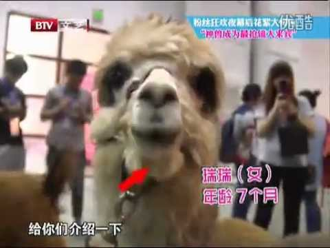 120927 EXO playing with lama @ 5th Mengniu Music Awards on BTV-2