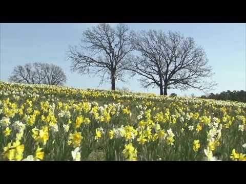 I Wandered Lonely as a Cloud (Daffodils)-William Wordsworth streaming vf