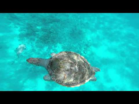 The Turtles of Barbados