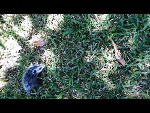 Baby Opossums Go For A Ride Viralhog Doovi