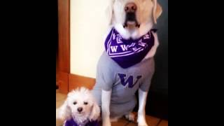 Talking Dogs: University Of Washington Husky Fans Uw