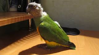 Сенегальский попугай танцует под песню Владимира Высоцкого. Senegal parrot dance