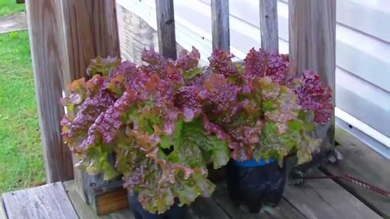Grow Your Own Lettuce In A Container Garden 2015 Youtube