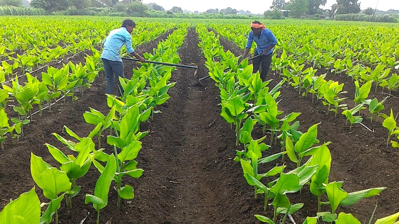 Haldi ki kheti Turmeric farming (part 11) - YouTube