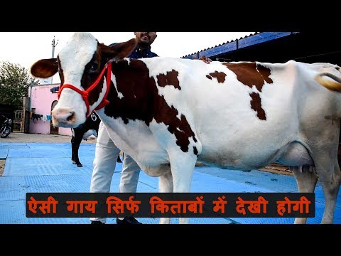 स्कॉटलेंड वाली आयरशायर गाय | Ayrshire cow for sale | Chopra Dairy Farm