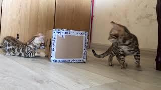 Бенгальские котята 3 месяца