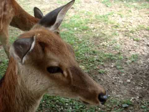 what kind of noise does a deer make