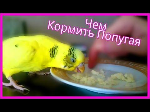 Чем Кормить Попугая Помимо Корма?