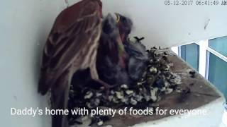 Bird mites attacked. Mama worried: House Finch 05.12.17