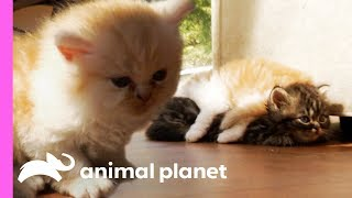 Noisy Little Munchkin Kitten Just Wants To Find A Friend | Too Cute!