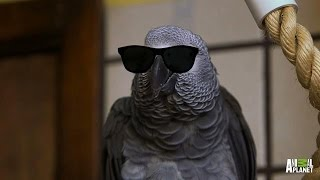 Download Meet Santos: The Rapping, Potty Mouth Parrot Mp3